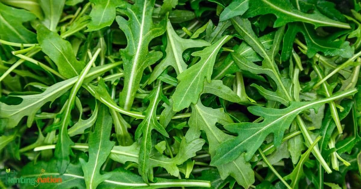 Arugula plants